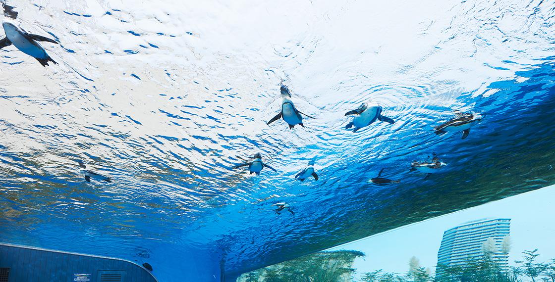 2017年には屋外エリアが一新。横幅12mある水槽を頭上に配置した「天空のペンギン」コーナーがお目見えした。