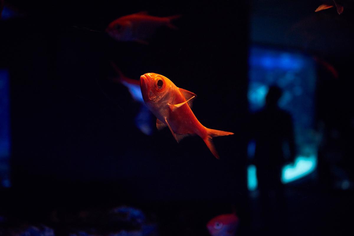 赤い魚は赤色のダウンライトで照らし出し、水中で本来の色が霞んで見えないようにしている。